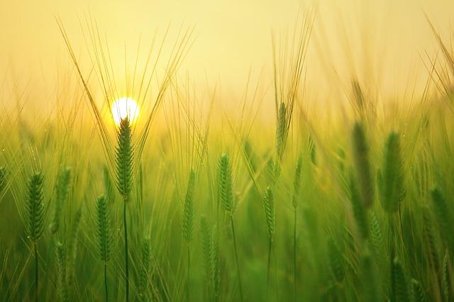 Масло зародышей пшеницы от морщин на шее