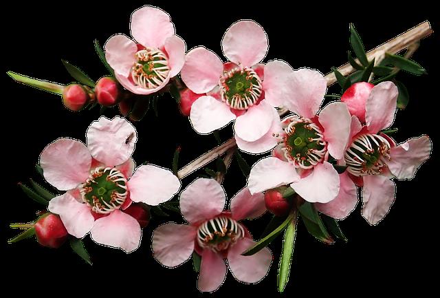 Цветы чайного дерева