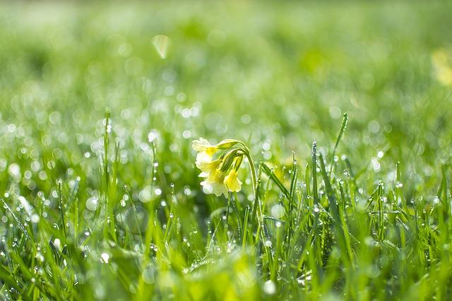 Трава примулы