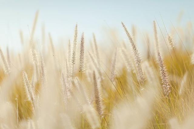 Масло зародышей пшеницы для лица: отзывы о применении маски из пшеничных ростков от морщин